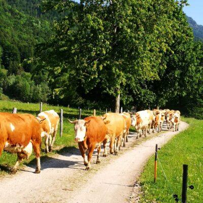 Die Damen auf dem Weg zur Weide.