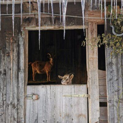 Ziegenstall im Winter